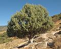 Juniperus oxycedrus 20120826 3.jpg