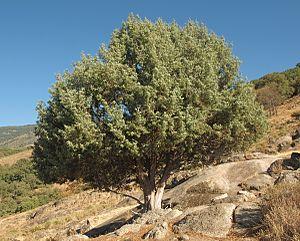 Juniperus oxycedrus - Image: Juniperus oxycedrus 20120826 3
