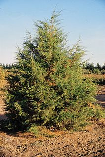 <i>Juniperus scopulorum</i> species of plant