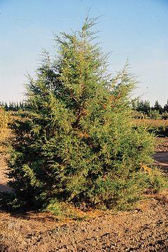Juniperus Scopulorum Wikipedia