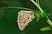 Junonia almana-Kadavoor-2015-08-22-001.jpg