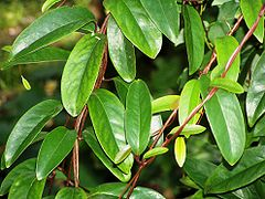 Kadsura japonica.jpg