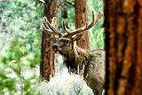 Kaibab Elk.jpg