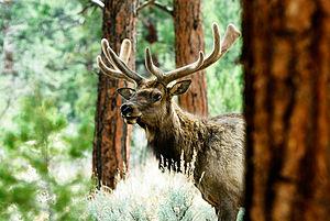 Withington Wilderness - Image: Kaibab Elk
