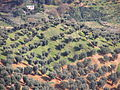 Calabrian olive tree plantations