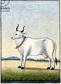 Kamadhenu, the cow of plenty.jpg