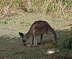 Kangaroo 2 (30439657523).jpg