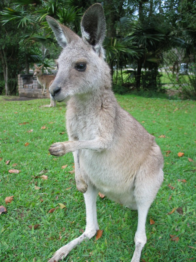 Kangaroo ST 03