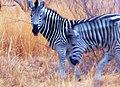 Kapama private game reserve Zébres Afrique du.jpg