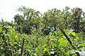 Kebon kacang panjang, vigna unguiculata.jpg