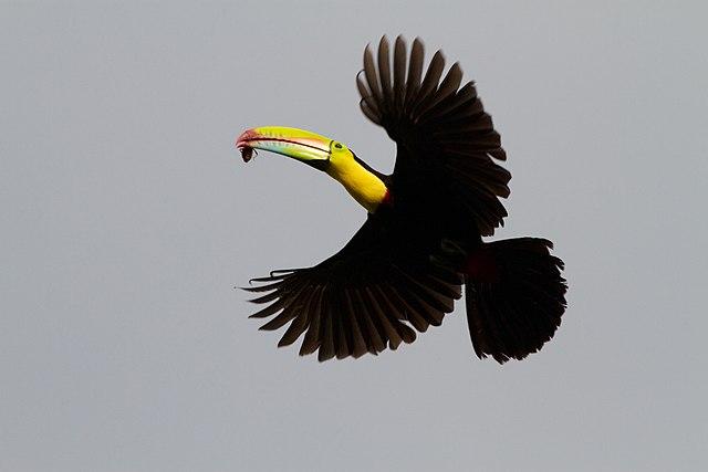 Toco toucans