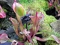 Kew.gardens.pitcher.plant.heliamphora.arp.jpg