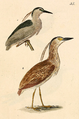 Kittlitz Nycticorax.png