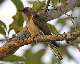 Klaas's cuckoo - Image: Klaas's Cuckoo (Chrysococcyx klaas) 2