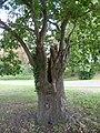 Knockholt oak trees (1).jpg