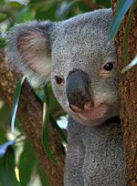 Image illustrative de l'article Lone Pine Koala Sanctuary