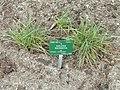 Koeleria macrantha - Copenhagen Botanical Garden - DSC07678.JPG