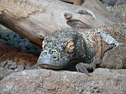 A sleeping Komodo dragon. Notice the large, curved claws used in fighting and eating.