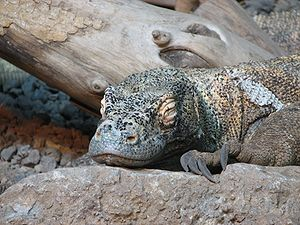 Sleep in non-human animals - A Komodo dragon sleeping.
