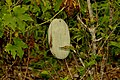 Konduru,tanaman khas siompu - panoramio.jpg