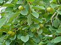 Kudu-berry (Pseudolachnostylis maprouneifolia) (11907859034).jpg