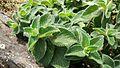 Kurinji plant in part of westren ghatts.jpg