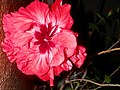 Kvet čínska ruža 19 Slovakia.jpg