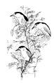 Kwak Nycticorax nycticorax Jos Zwarts 3.tif