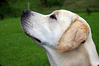 Yellow Labrador with black skin colour