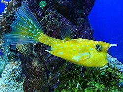 Lactoria cornuta.004 - Aquarium Finisterrae.JPG