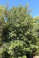 Lagunaria patersonia - Jardín Botánico de Barcelona - Barcelona, Spain - DSC08912.JPG