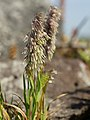 Lamarckia aurea (plant).jpg