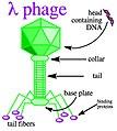 Lambda phage.jpg