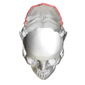 Lambdoid border of occipital bone03.png