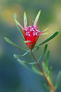 A shrub of the family Proteaceae, endemic to New South Wales, Australia