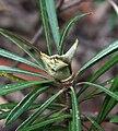 Lambertia formosa conshut1 cropped.jpg