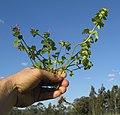 Lamium amplexicaule plant6 (14854792503).jpg