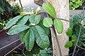 Landolphia owariensis-Jardin botanique Meise (3).jpg