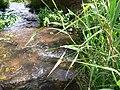 Landwehrgraben hassloch 20050729 485.jpg