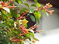 Lankan Ethnic Bird.jpg