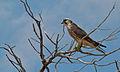 Lanner Falcon (Falco biarmicus) (8524096220).jpg