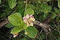 Lantana camara flowerhead NC2.jpg