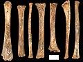 Lapa do Santo - Sepultamento 14 - Ossos longos.jpg