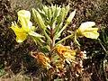 Large-flowered Evening-primrose (Oenothera glazioviana) (8130409676).jpg