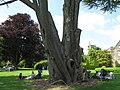 Large Conifer provides a shaded picnic spot - geograph.org.uk - 1458332.jpg