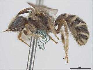 Lasioglossum halictoides species of bee