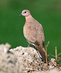 Laughing Dove Im IMG 9876