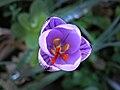 Lavatoggio-Crocus corsicus.jpg