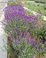 Lavender (7530353956).jpg