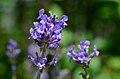 Lavendula angustifolia* (8420082232).jpg